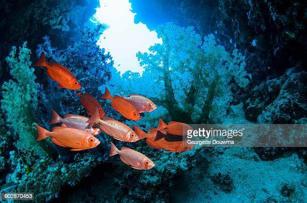 red fish with corals - redfish stock photos and pictures