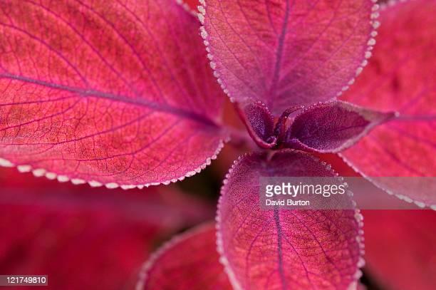 Red flame nettle (Solenostemon, syn. Coleus)