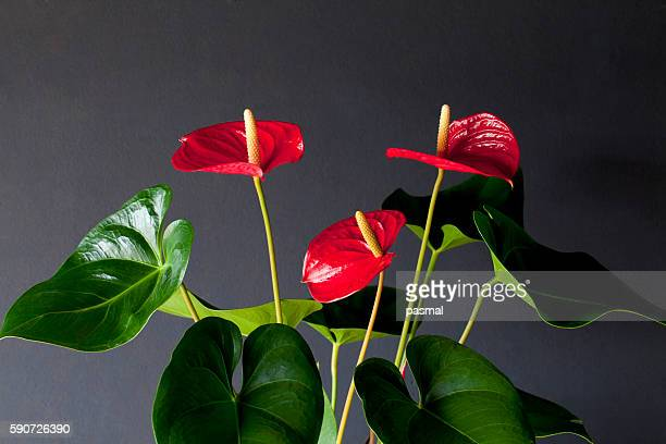 Red flamingo lily (Anthurium andraeanum)
