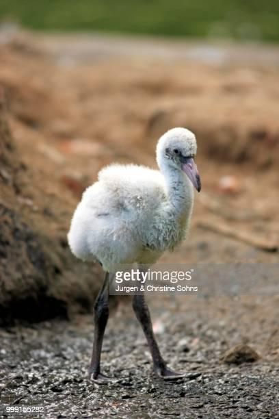 Red Flamingo or Cuban Flamingo (Phoenicopterus ruber ruber), chick, native to South America, captive, Heidelberg, Baden-Wuerttemberg, Germany