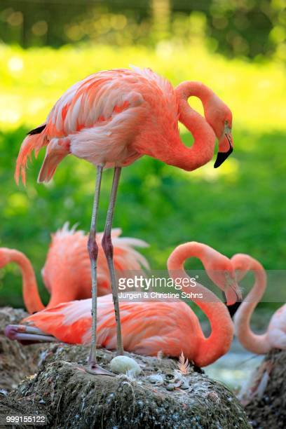 Red Flamingoes or Cuban Flamingoes (Phoenicopterus ruber ruber), adult, brooding, on nests, native to South America, captive, Heidelberg, Baden-Wuerttemberg, Germany