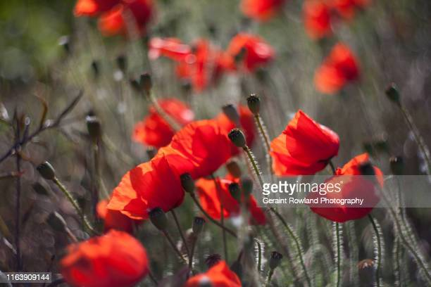 red flower art in europe - memorial day background stock pictures, royalty-free photos & images