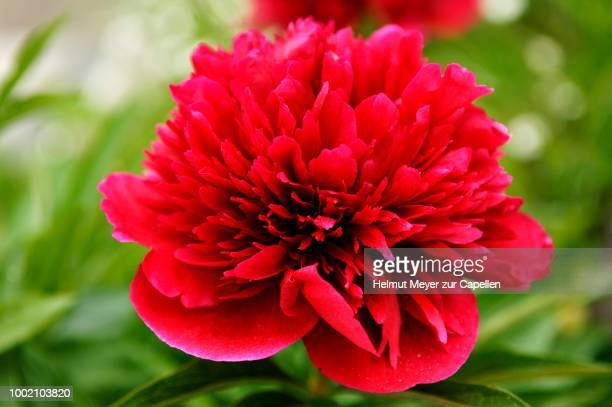 red flower of a peony (paeonia officinale), erlangen, middle franconia, bavaria, germany - erlangen stock photos and pictures