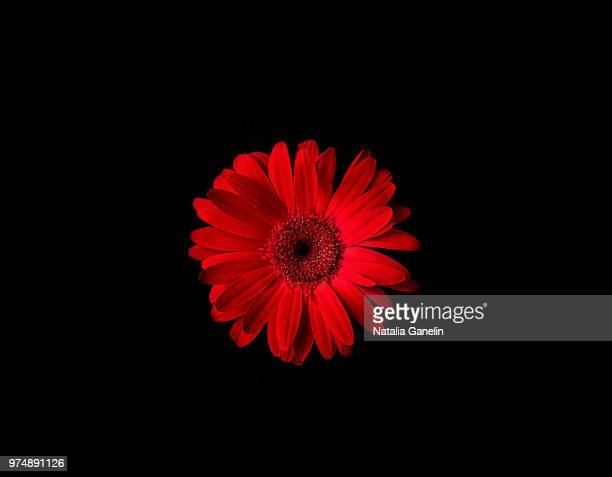 red flower on black background - gerbera stock pictures, royalty-free photos & images