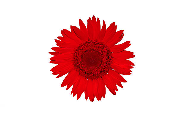 Free sunflower white background stock photos and royalty free images red flower on white background mightylinksfo