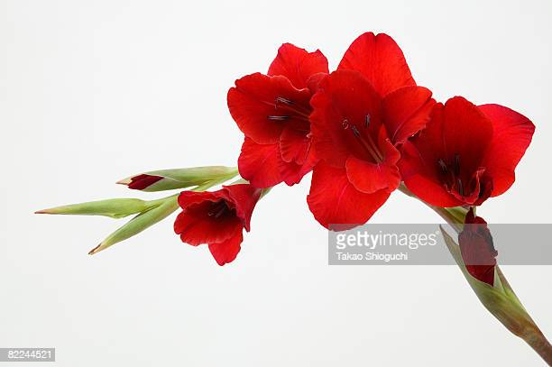 red flower - グラジオラス ストックフォトと画像