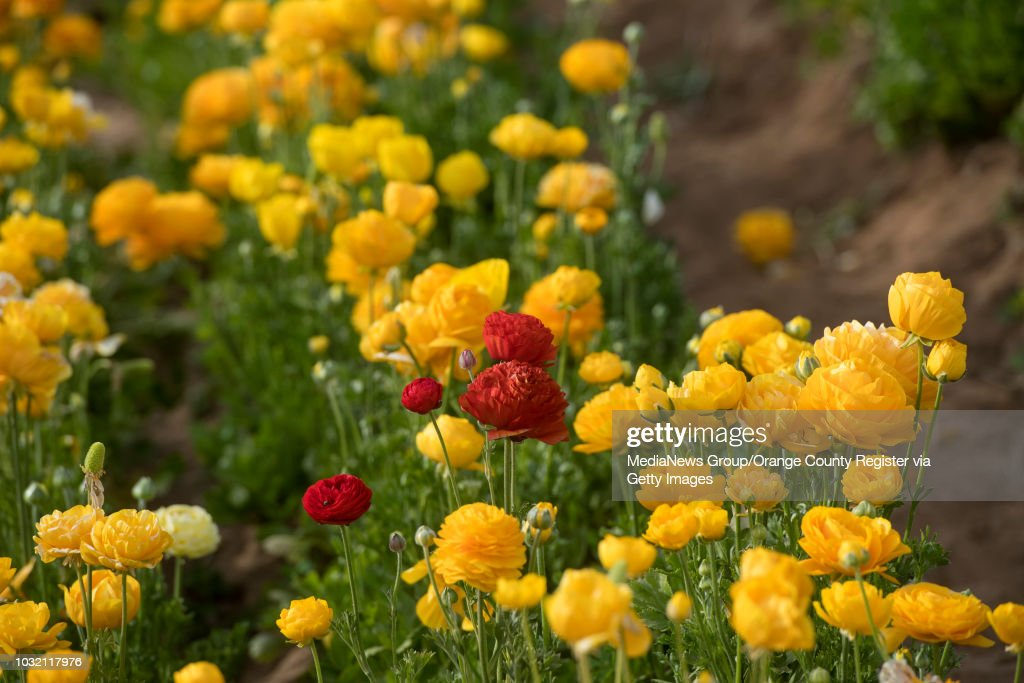 Orange county register archive pictures getty images a red flower sits among yellow flowers at the flower fields at carlsbad ranch in carlsbad mightylinksfo