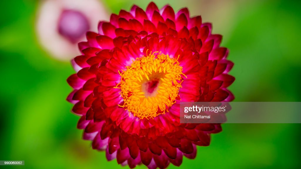 Red flower with yellow center stock photo getty images red flower with yellow center stock photo mightylinksfo
