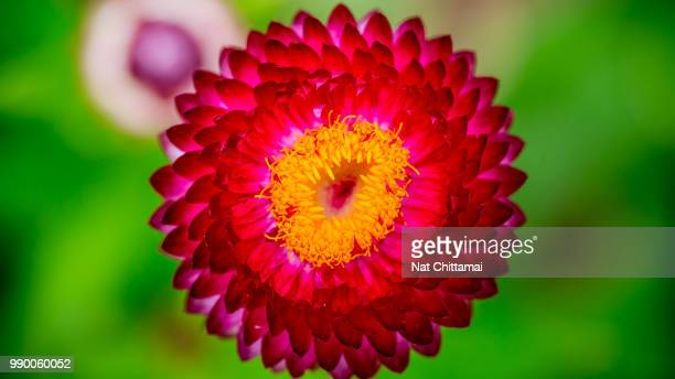 Red Flower With Yellow Center Stock Photos And Pictures