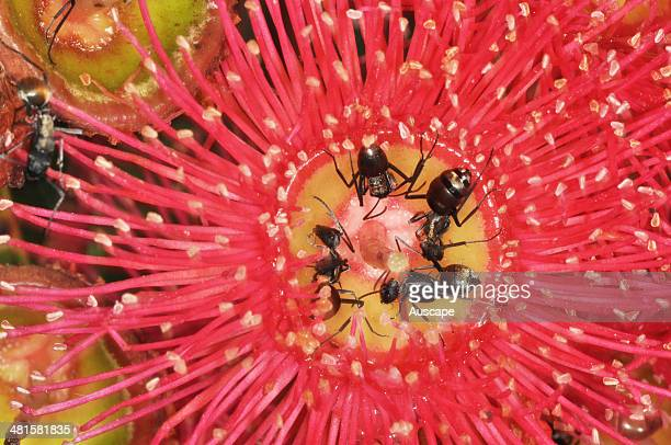Red flowering gum Corymbia ficifolia close up of blossom with feeding ants Australia
