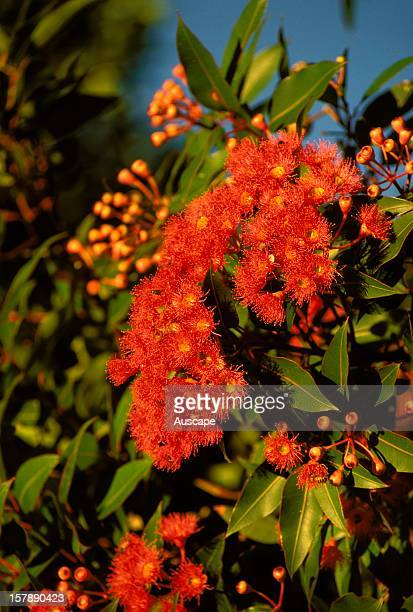 Red flowering gum in flower. Western Australia.