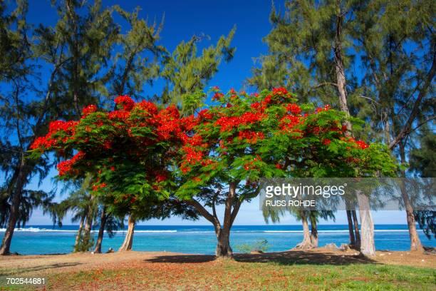 red flowering shrub on beach and indian ocean, reunion island - isla reunion fotografías e imágenes de stock