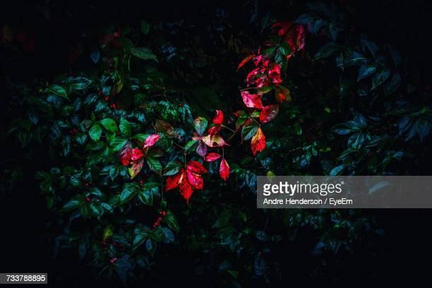 Red Flowers At Night