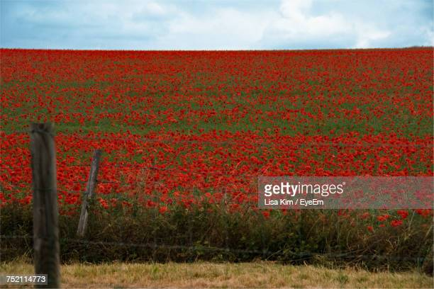 red flowers growing in field - poppy field stock photos and pictures