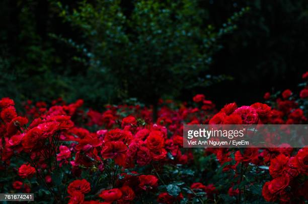 red flowers in bloom - red roses stock photos and pictures