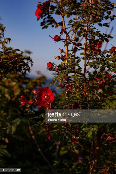 red flowers in sunset - rachel wolfe stock pictures, royalty-free photos & images