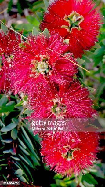Red Flowers Of Arizona