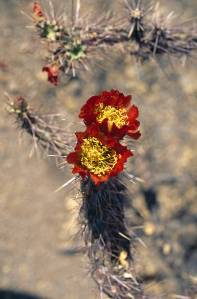 Red flowers on a cactus