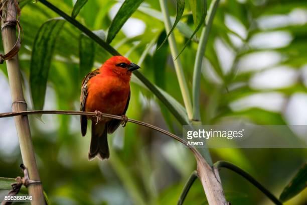 Red fody / Madagascar fody / red cardinal fody / common fody / Madagascar weaver male native to Madagascar