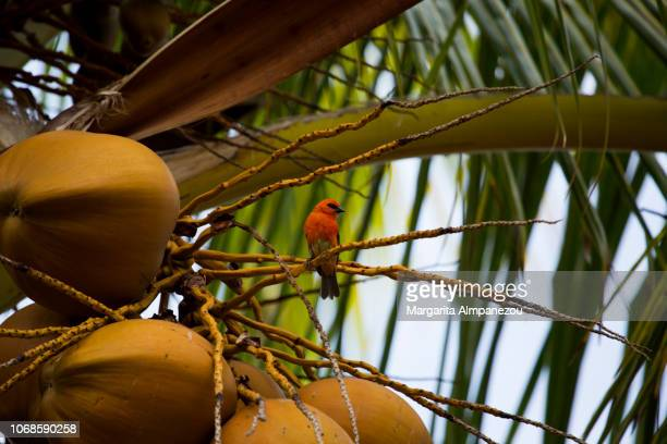 Red fody, tropical bird of Reunion Island, on a palm tree