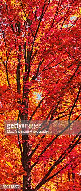 Red Forest Maple Leaves in Peak Fall Colors Wisconsin