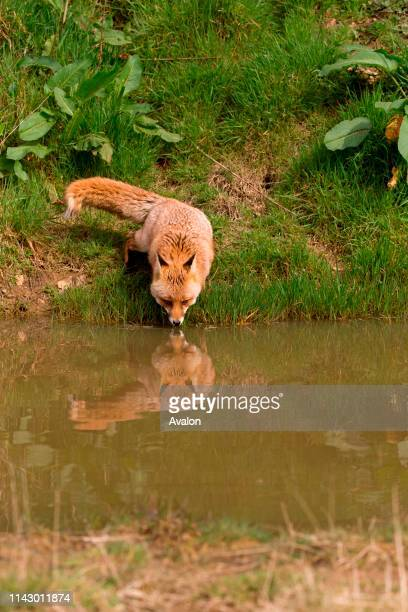 Red Fox adult female standing at waters edge drinking with reflection Devon England UK April captive