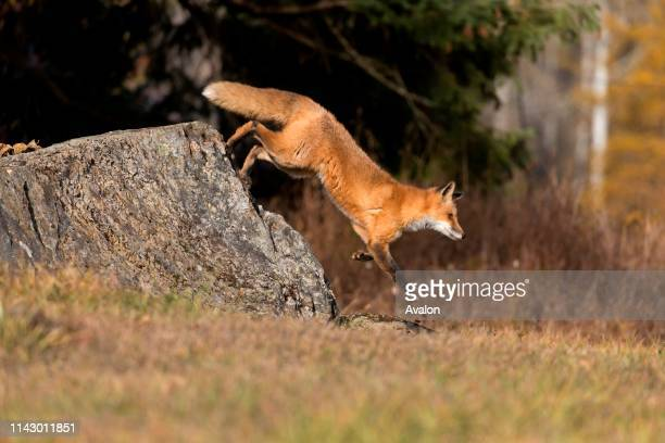 Red Fox adult jumping from rock on woodland edge Montana USA October controlled subject