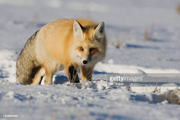 Red Fox (Vulpes vulpes), adult walking in snow, Yellowstone National Park, Wyoming, USA