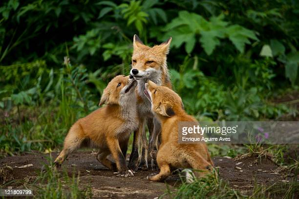 red fox (vulpes vulpes) adult with cubs, ncneil, alaska, usa - volpe rossa foto e immagini stock