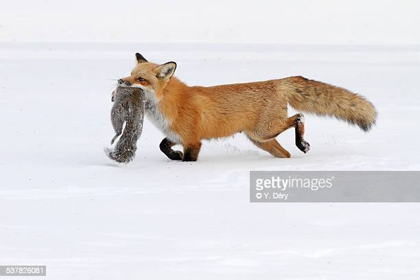 Red fox and a squirrel
