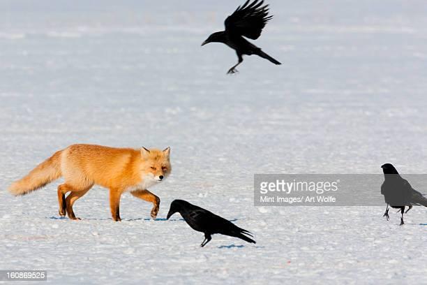 Red fox and crows, Hokkaido, Japan