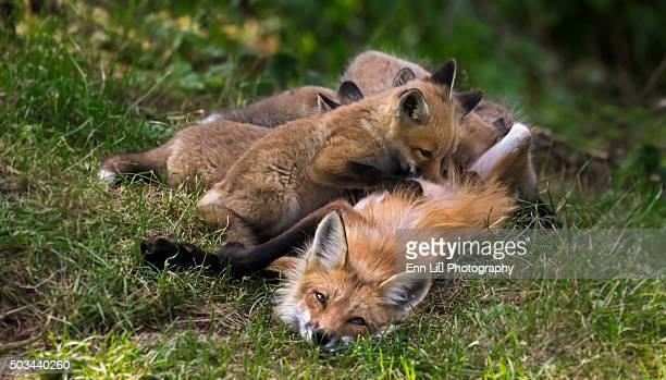 Red fox (vulpes vulpes) and nursing pups