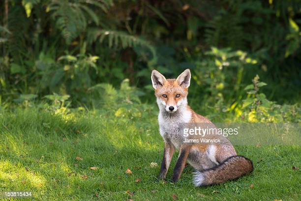 red fox at edge of forest - fox stock pictures, royalty-free photos & images