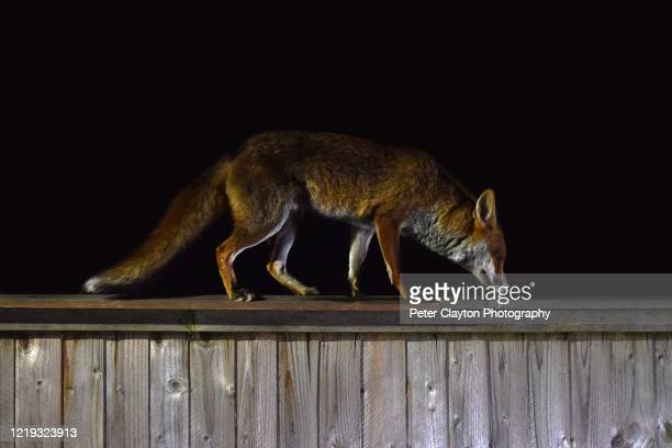 red fox at night - alternative pose stock pictures, royalty-free photos & images