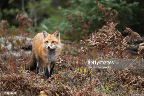 red fox & autumn colors - fox stock pictures, royalty-free photos & images