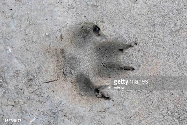 Red fox closeup of footprint in wet sand / mud