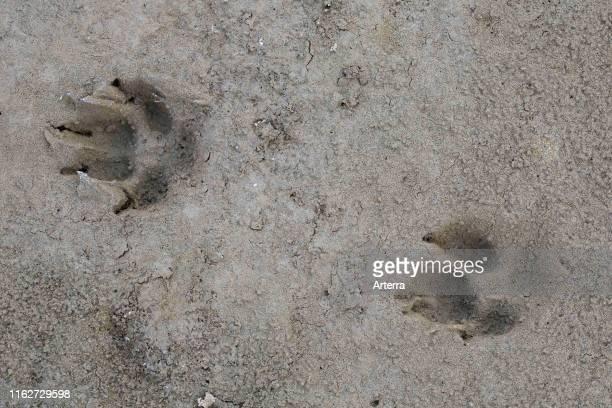 Red fox closeup of footprints in wet sand / mud