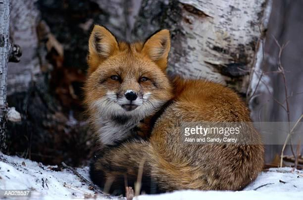 Red fox (Vulpes vulpes) close-up, winter