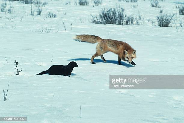 red fox confronting mink on snow - mink animal stock pictures, royalty-free photos & images