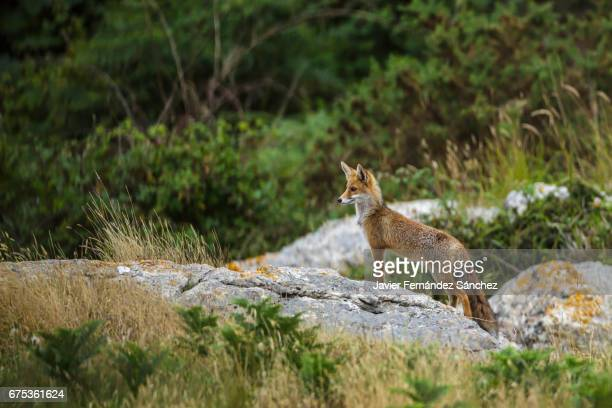 A red fox (Vulpes vulpes) controls its hunting territory from a stone.