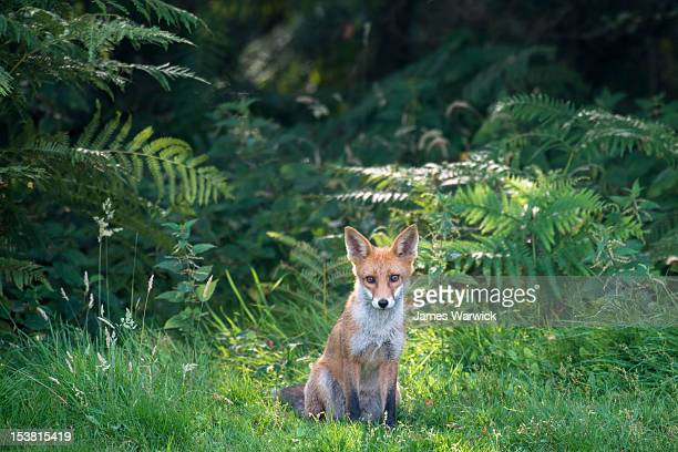 red fox cub at edge of forest - red fox stock pictures, royalty-free photos & images