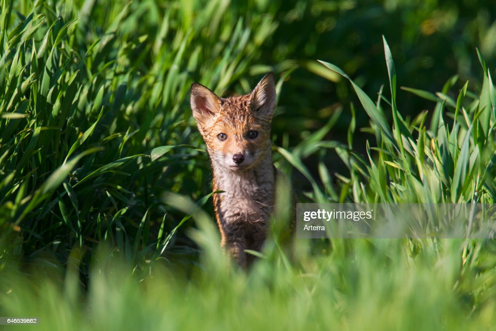 Red fox cub / kit in grassland in spring  News Photo | Getty Images