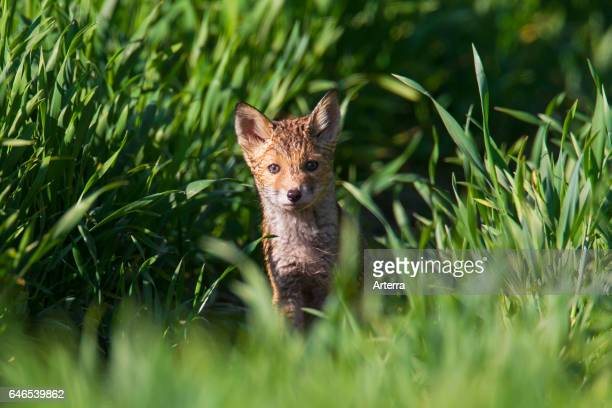 Red fox cub / kit in grassland in spring