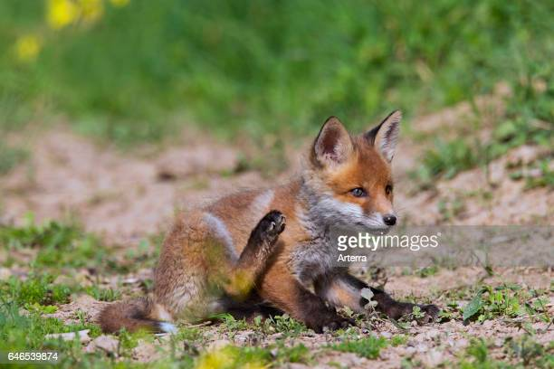 Red fox cub / kit scratching fur with hind leg in spring