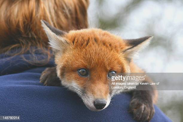 red fox cub - exotic pets stock pictures, royalty-free photos & images