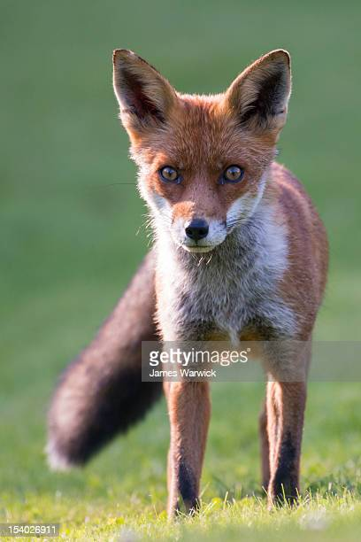 red fox cub - fox stock pictures, royalty-free photos & images