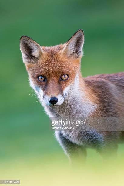 red fox cub portrait - fox stock pictures, royalty-free photos & images