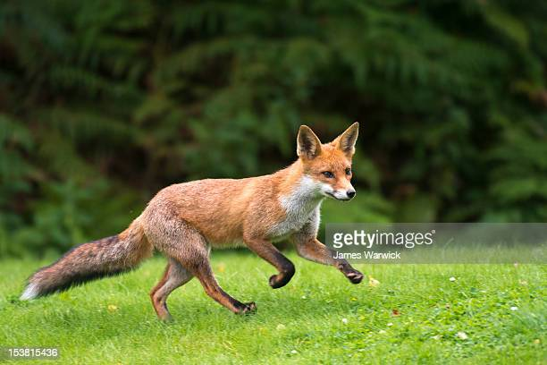 red fox cub running - fox stock pictures, royalty-free photos & images