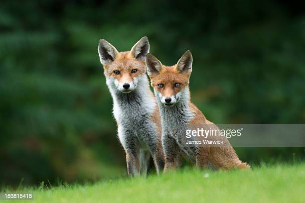 red fox cub with parent - fox stock pictures, royalty-free photos & images