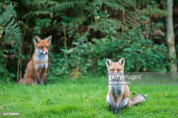 red fox cubs at edge of forest - fox stock pictures, royalty-free photos & images